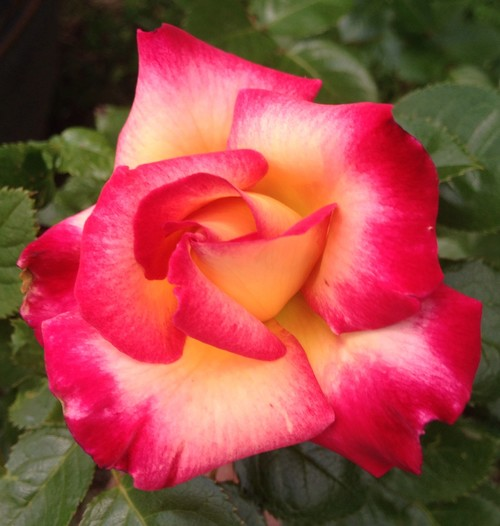 time to show bi color or multi colored roses