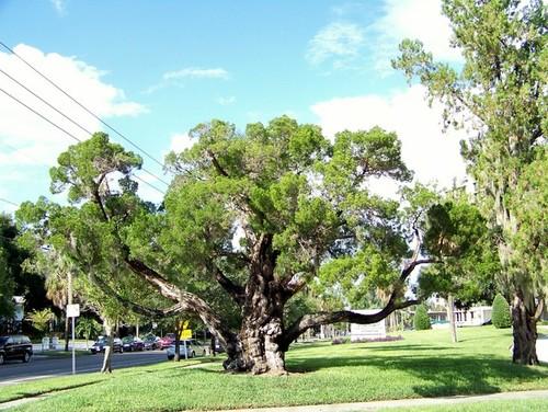 Old Interesting Specimen Of Juniperus Virginiana Var