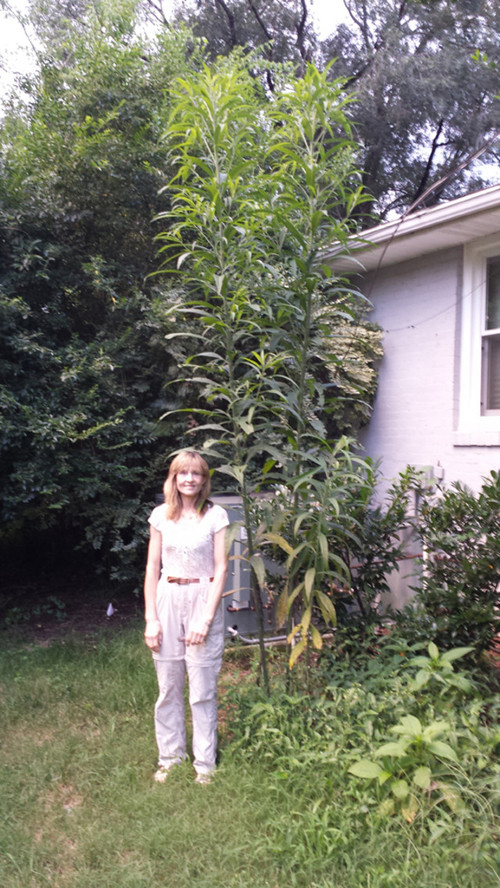 Really Tall Joe Pye Weed