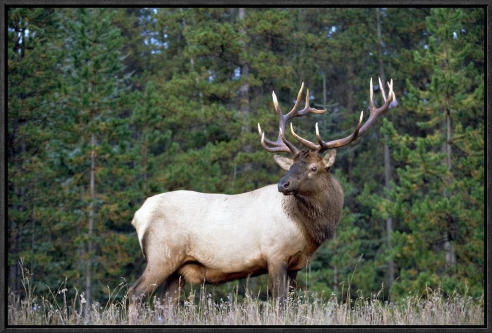 Elk Or Wapiti Male Portrait North America By Tim Fitzharris 19x13 Rustic Prints And Posters By Global Gallery