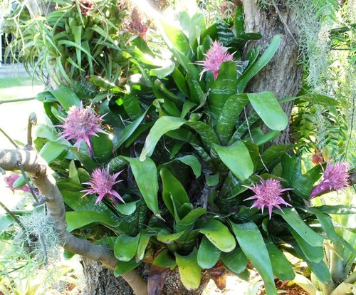 Do aechmea fasciata blooms change colors with age for Aechmea fasciata