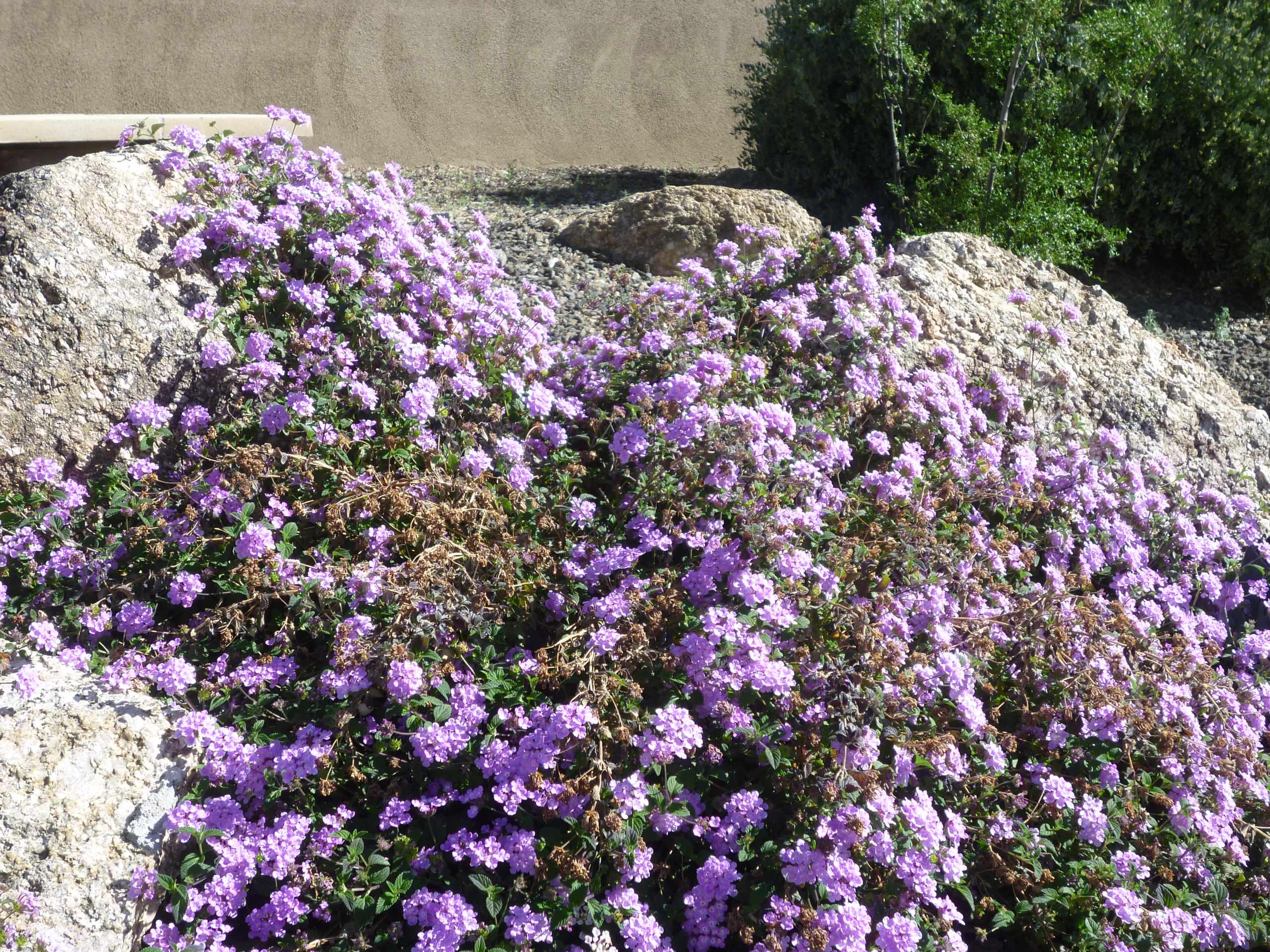 Lantana montevidensis_Purple Trailing Lantana