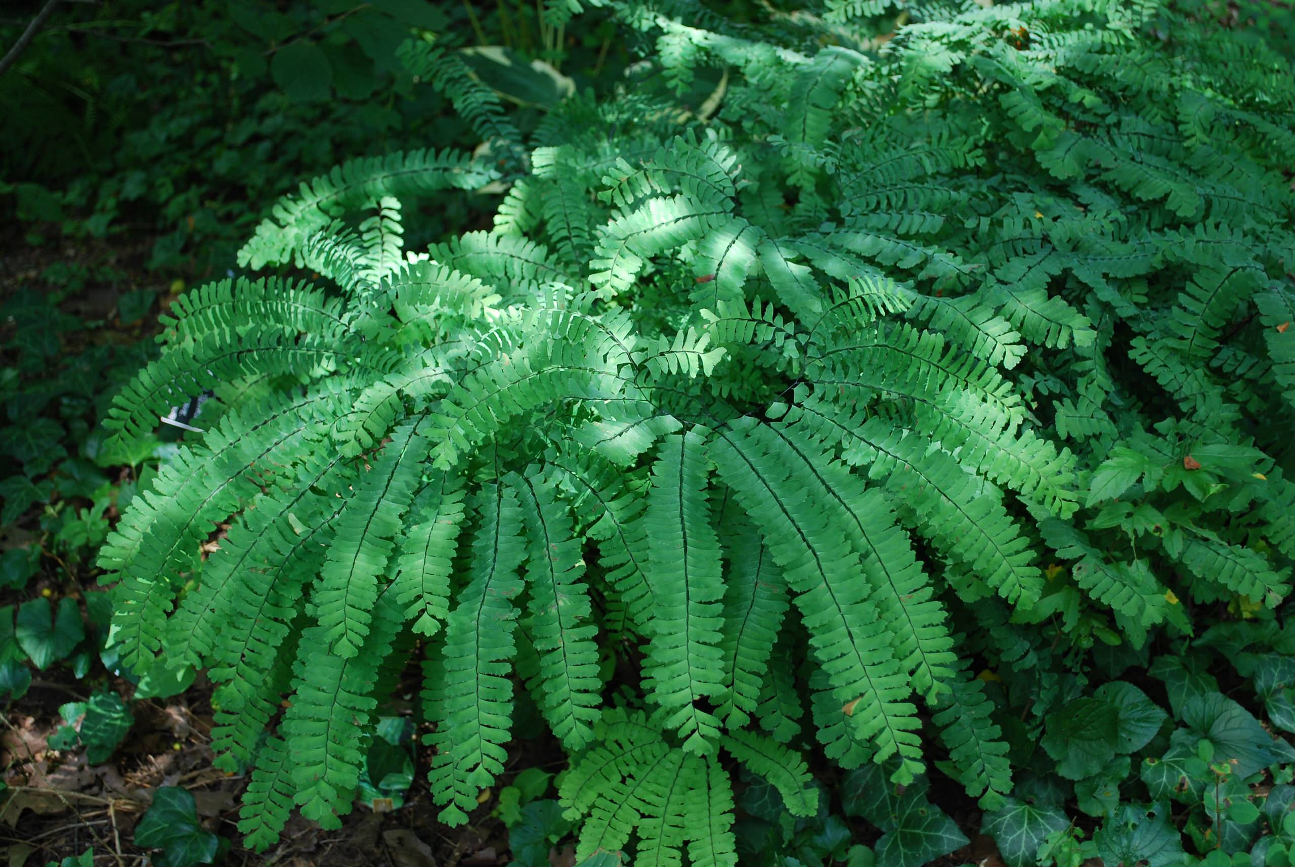 Northern maidenhair fern