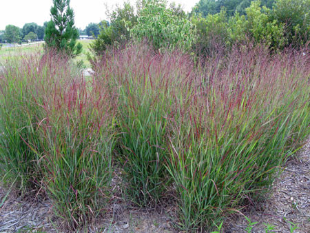 Pamicum virgatum shenandoah switchgrass for Designing with grasses