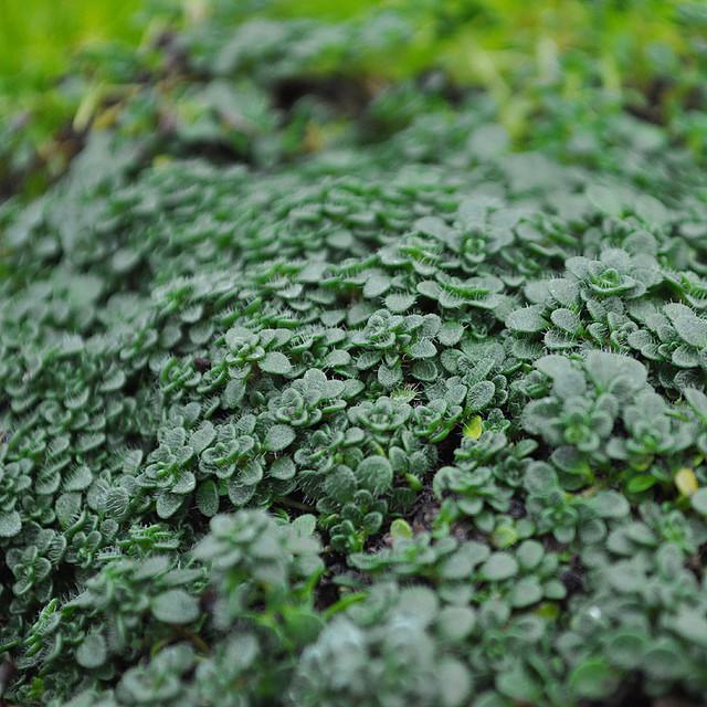 Miniature Fairy Garden Thymus Serpyllum, Elfin   Thyme Rustic Plants