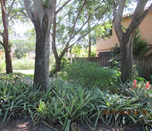 Landscaping Ideas Around Oak Trees : Some photos from fort lauderdale area omeliads around ficus tree