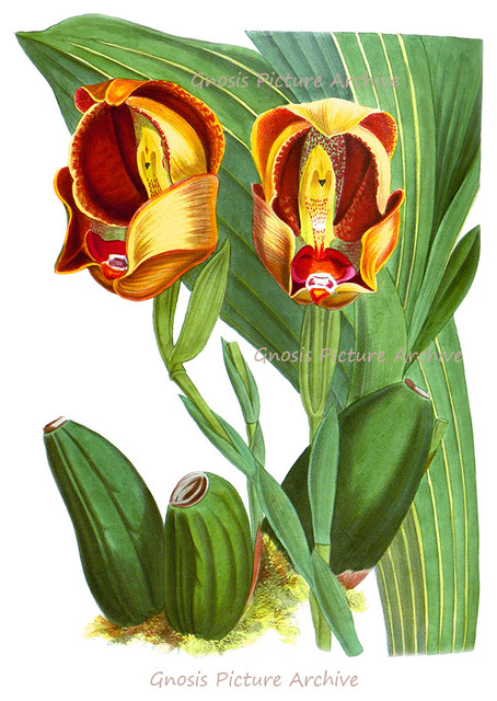 Antique Exotic Orchids Botanical Illustrations Restoration