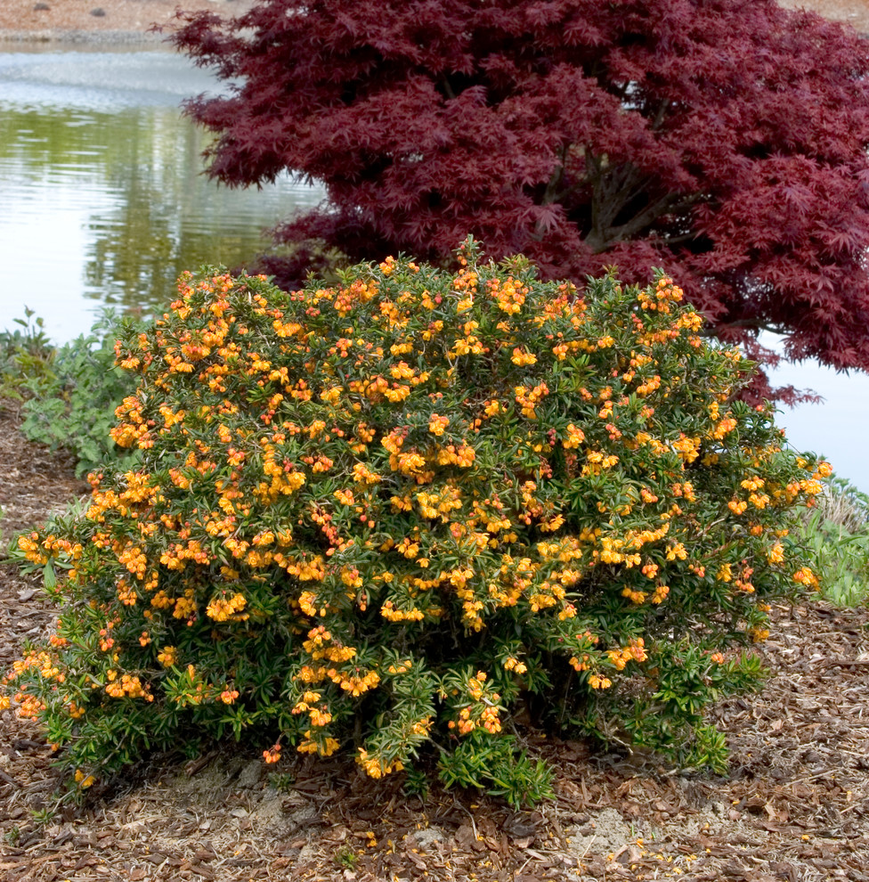 Ilex Crenata Golden Gem dwarf coral hedge barberry - contemporary -monrovia
