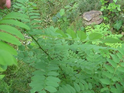 Arbustos - Wikipedia