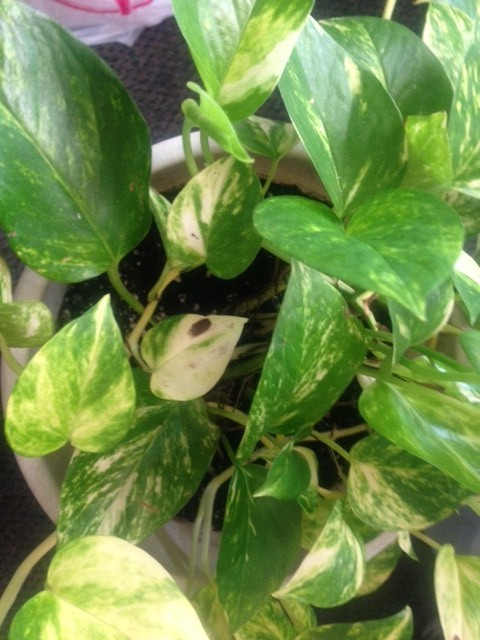 dark spots on pothos 39 leaves what 39 s wrong please help. Black Bedroom Furniture Sets. Home Design Ideas