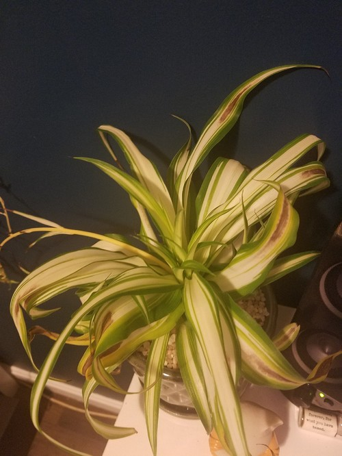 Spider Plant Leaves Browning in Middle?