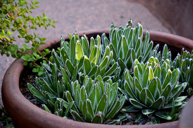 10 Small Scale Agaves Just Right For Containers