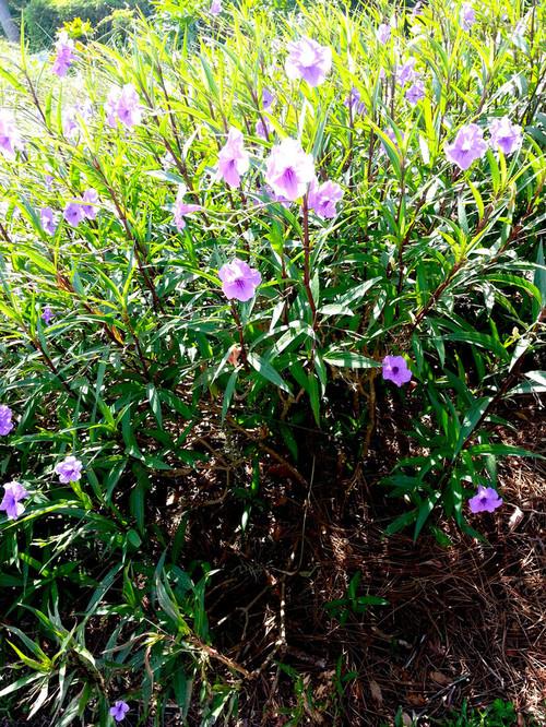 Purple flowers on bush like plants in florida mightylinksfo