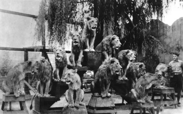 Quot el monte ca gay s lion farm photograph print