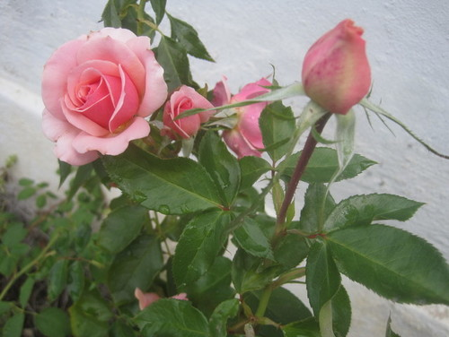 Elegir y cultivar rosas en Washington occidental & bull; En Harmony Paisajes Sustentables