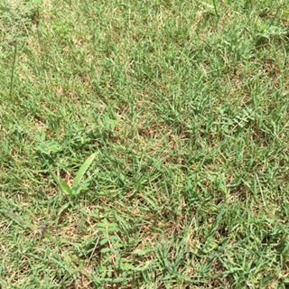 Need help identifying grass type