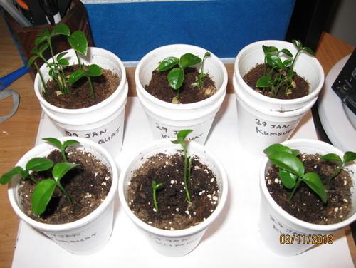 how to grow kumquats in pots