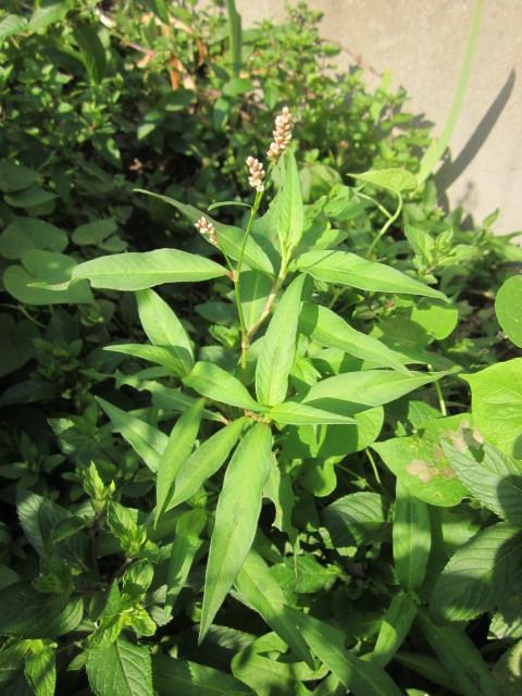 Small plant with tiny pink flowers mightylinksfo