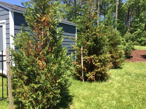 Are My Leyland Cypress Trees Dead Yet