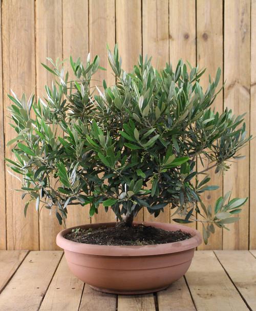 olivenb ume einpflanzen oder nur im k bel halten. Black Bedroom Furniture Sets. Home Design Ideas