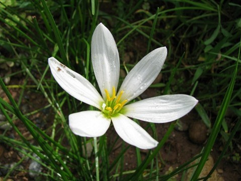 White crocus like flower in s korea mightylinksfo