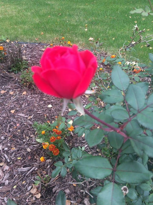 Please help me identify this rose plant for Help me design my garden