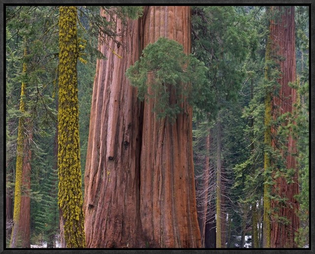 Giant Sequoia Trees California Framed Canvas Giclee By Tim Fitzharris 21x17 Contemporary Prints And Posters By Global Gallery