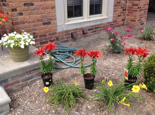 Help me plant these Asiatic lilies Designing A Lily Garden on design your garden, japanese zen garden, flower garden, designing an office,