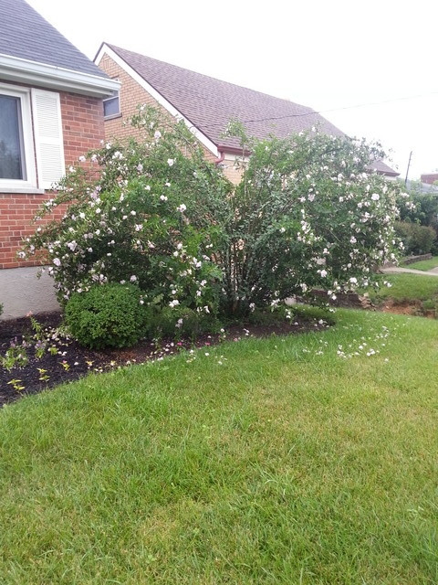 rose of Sharon bush is falling over