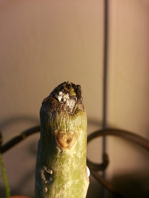 Plumeria Tip Rot On Un Rooted Cutting