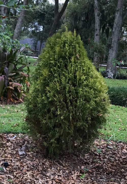 Conifers In Se Tx