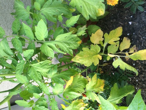 My New Tomato Plants Have Yellow Leaves At The Bottom