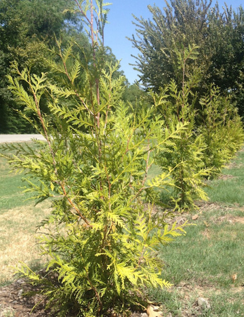 Thuja Green Giant Look At This Picture