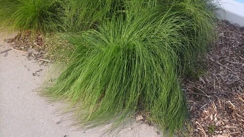 Ornamental grass zone 5 full sun workwithnaturefo