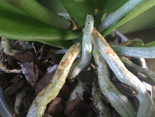 Brown Spots On Visible Phal Roots
