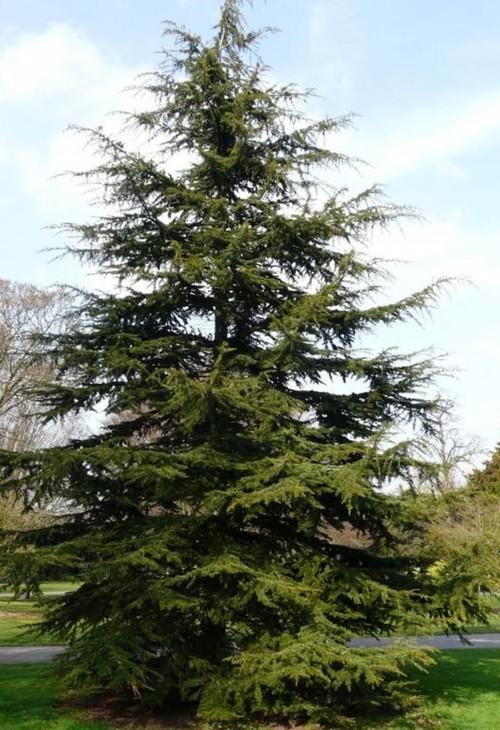 Cedar Tree Varieties ~ Confusion on cedar trees