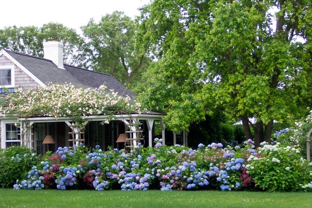 Parade of Nikko Blue Hydrangea with New Dawn Roses