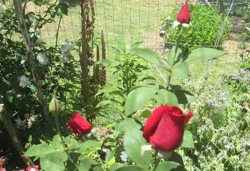 Growing an organic rose garden during a severe drought