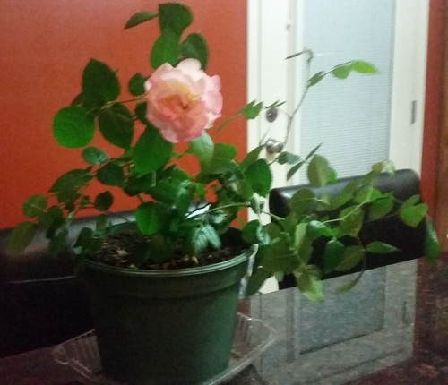 Growing roses indoors in winter with very little light i hit it with osmocote when potted and watered it weekly with my other house plants temps in my home are 71 f just for a few hours when im home and workwithnaturefo