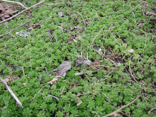 What is this small green groundcover that gets small yellow flowers very close to the ground and tiny yellow flowers in summer seems like a succulent very shallow roots spreads rather vigorously mightylinksfo