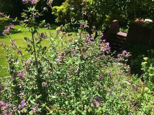 Perfil de la planta: Purple Flowering Raspberry, una belleza de verano