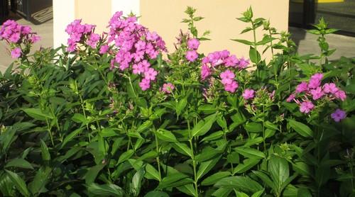 5 Petaled Pink Flower Clusters