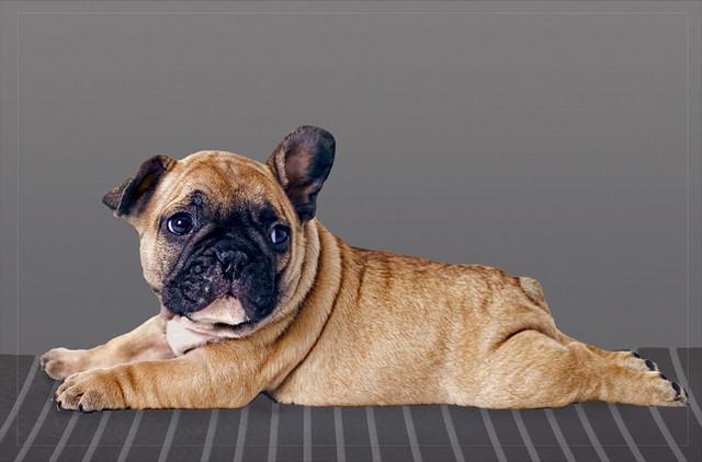 Bulldog Puppy Gallery Door Mat, Small