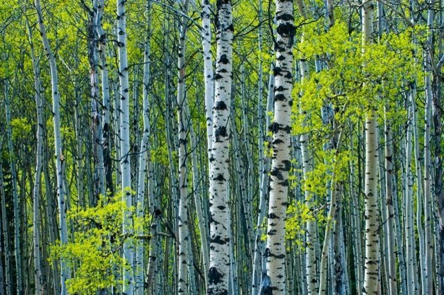 Spring Foliage On Trembling Aspen Wall Mural   18 Inches W X 12 Inches H  Contemporary Part 42
