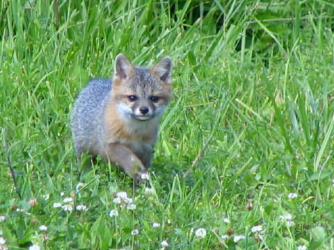 Baby gray foxes - photo#17