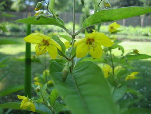 Yellow flowers on tall stem mightylinksfo