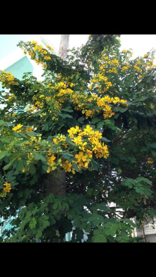 Id this yellow flowering tree seen at a florida resort mightylinksfo