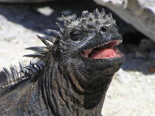 Marine Iguana - Laughing??