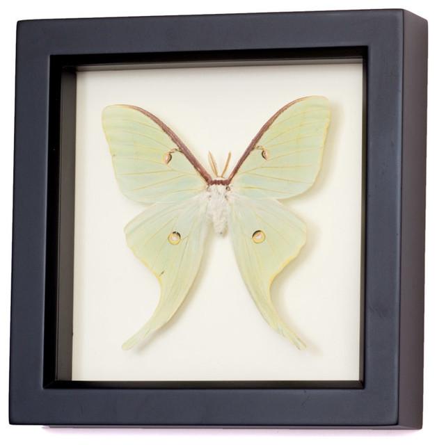 framed luna moth shadow box display