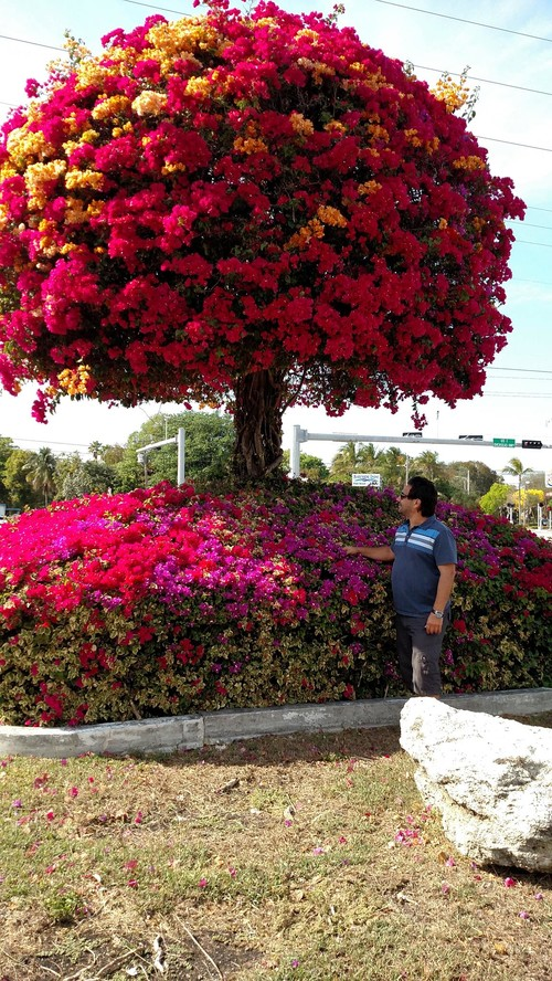 can i grow a Queen Wreath vine up a Bougainvillea tree : home design from forums.gardenweb.com size 500 x 888 jpeg 227kB